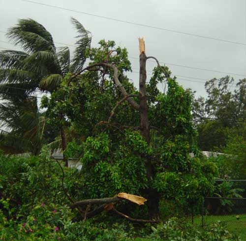 tree broken in half by hurricane frances